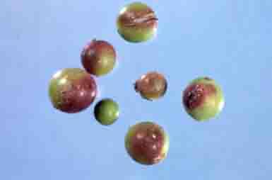 Stung berries