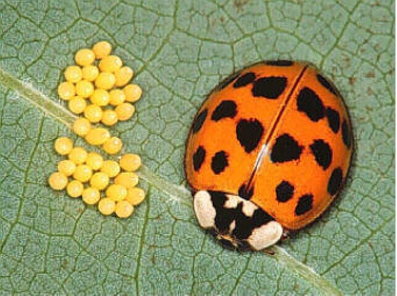 Multi-colored asian lady beetles