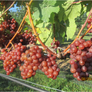 Are your Grapes Ready to Pick?   Buckeye Appellation